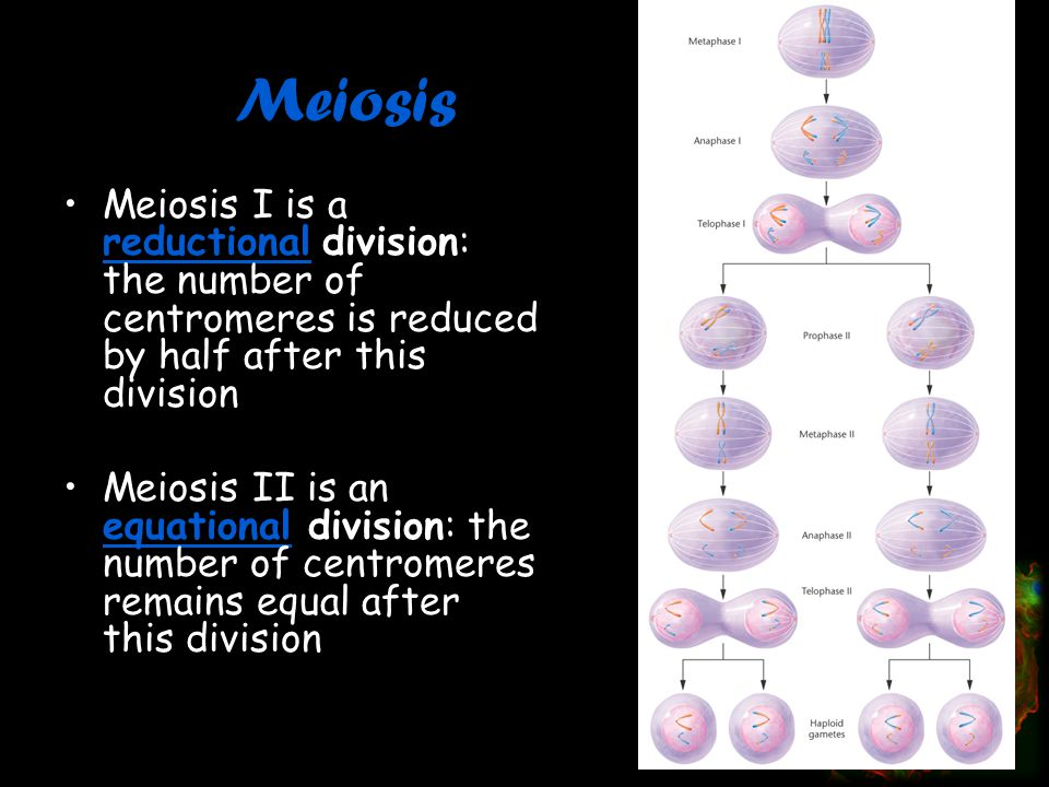Meiosis Meiosis I is a reductional division: the number of centromeres is reduced by half after this division.