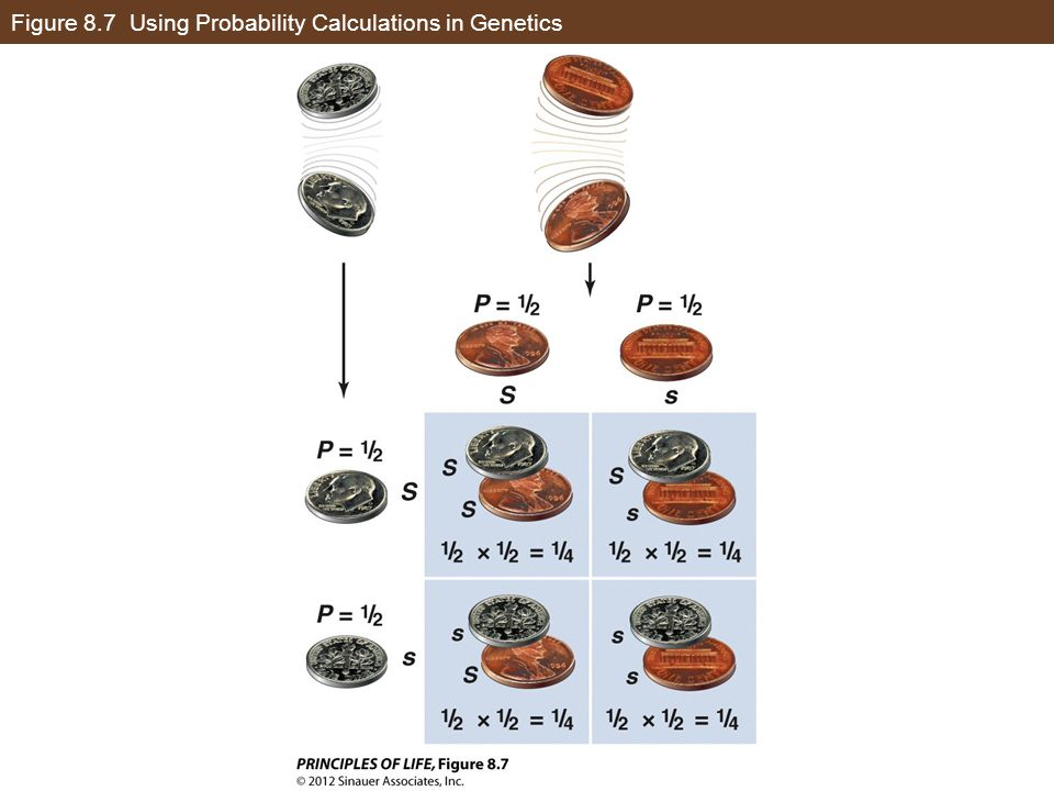 Figure 8.7 Using Probability Calculations in Genetics