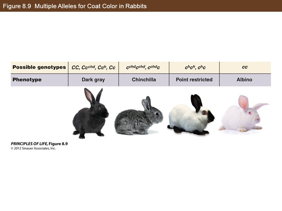 Multiple Alleles Rabbits
