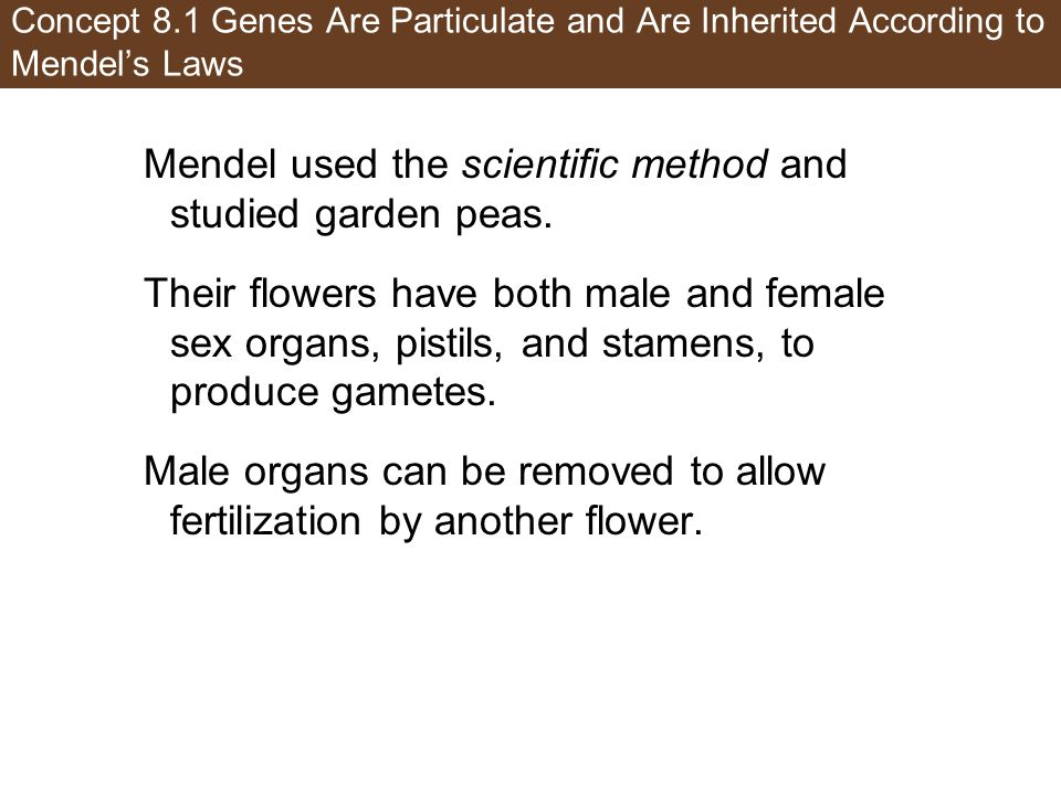 Mendel used the scientific method and studied garden peas.