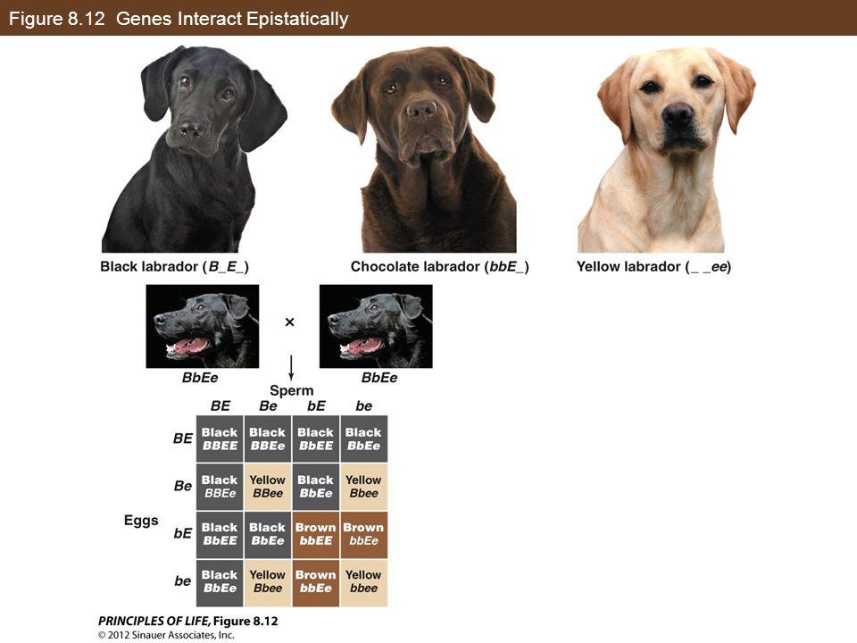 Figure 8.12 Genes Interact Epistatically