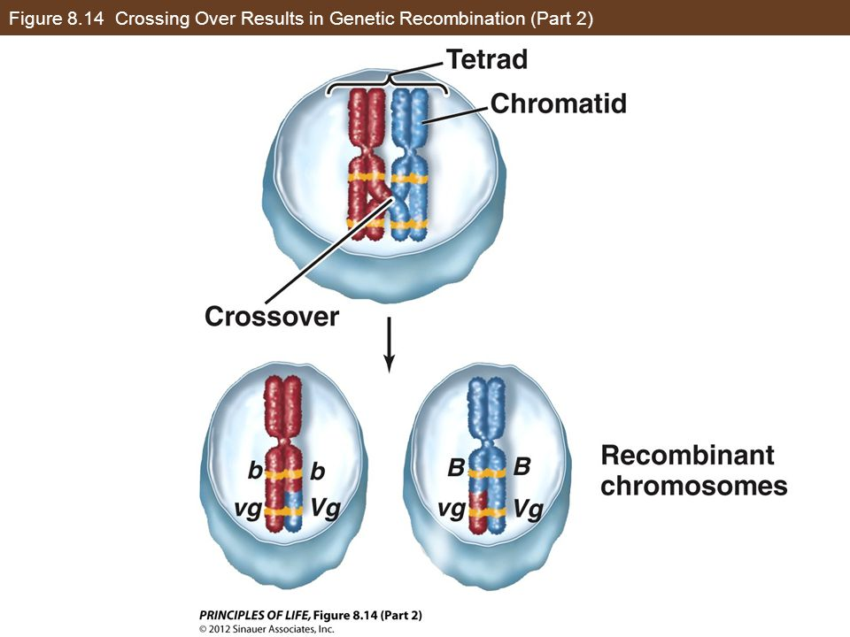 Figure 8.14 Crossing Over Results in Genetic Recombination (Part 2)