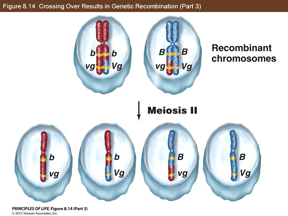 Figure 8.14 Crossing Over Results in Genetic Recombination (Part 3)