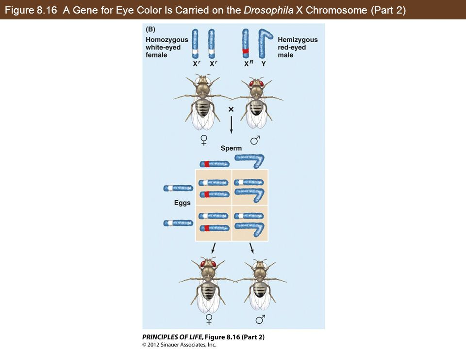 Figure 8.16 A Gene for Eye Color Is Carried on the Drosophila X Chromosome (Part 2)
