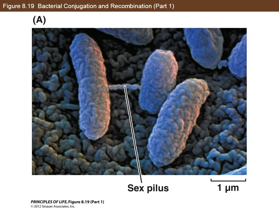 Figure 8.19 Bacterial Conjugation and Recombination (Part 1)