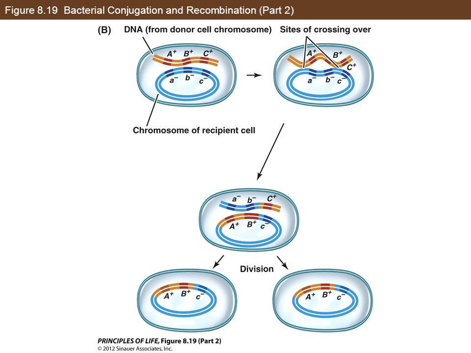 Figure 8.19 Bacterial Conjugation and Recombination (Part 2)