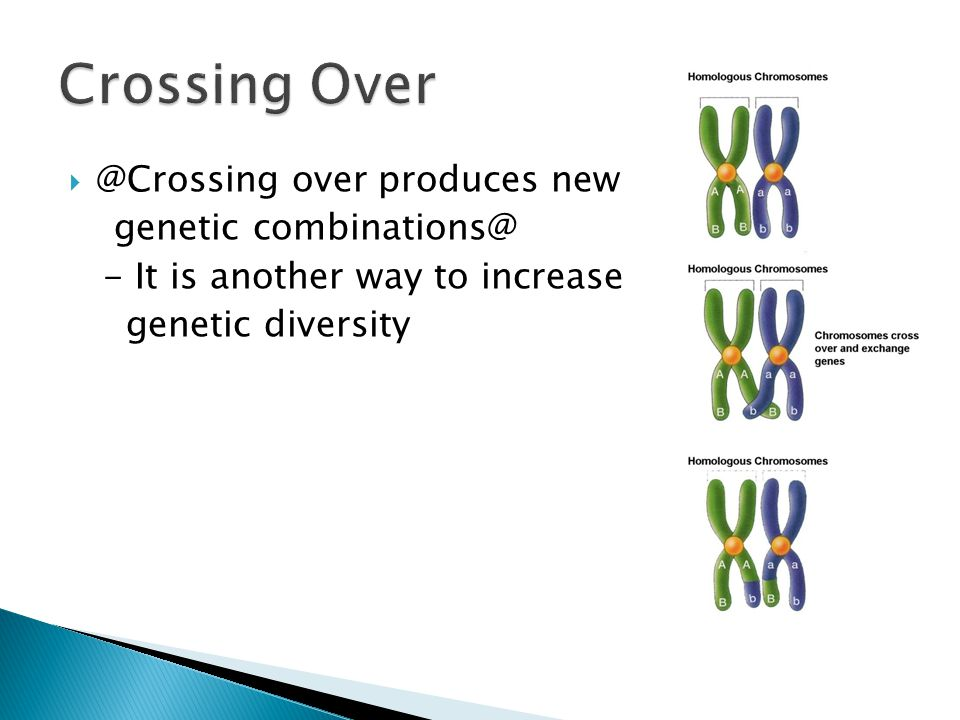 Crossing Over @Crossing over produces new genetic combinations@