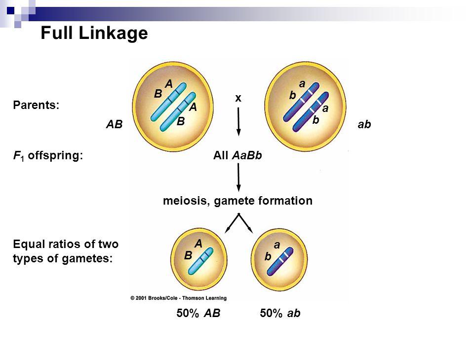 Full Linkage A B a b x Parents: A B a b AB ab F1 offspring: All AaBb