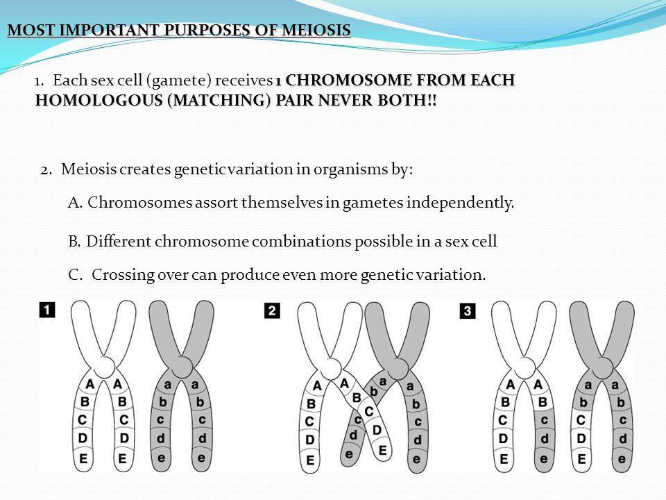 MOST IMPORTANT PURPOSES OF MEIOSIS