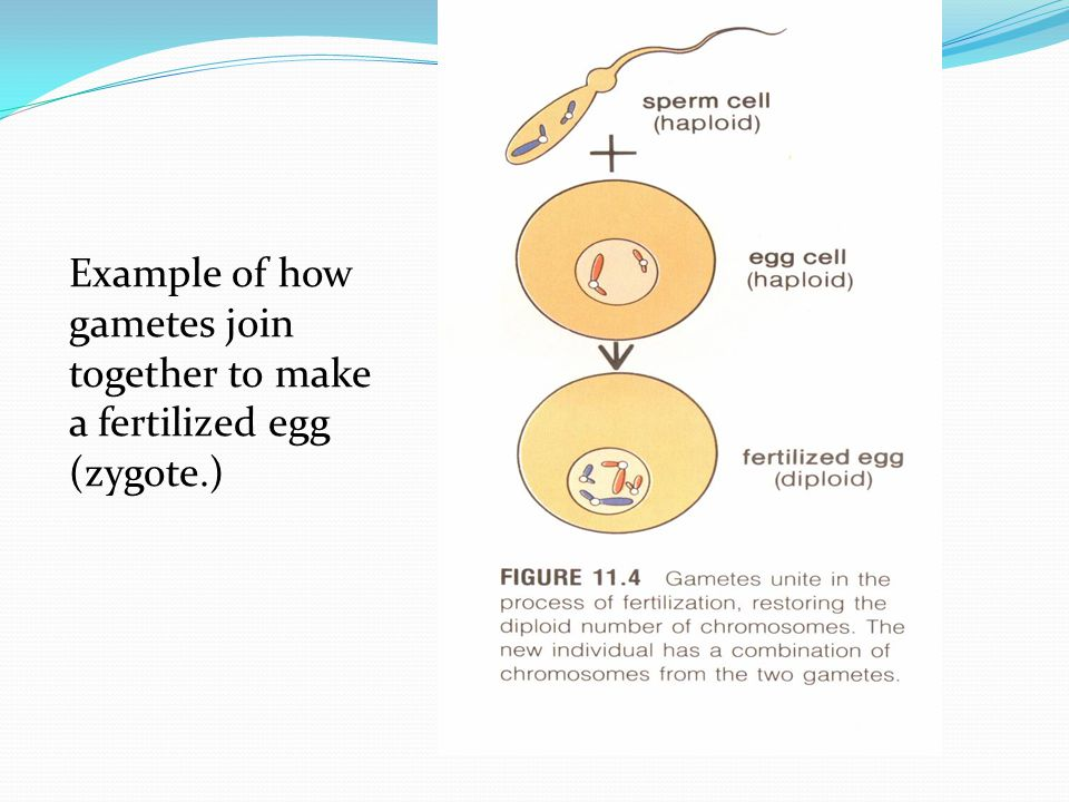 Example of how gametes join together to make a fertilized egg (zygote