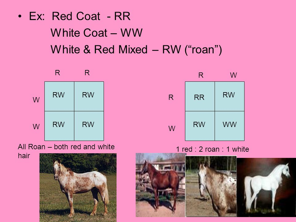 White & Red Mixed – RW ( roan )