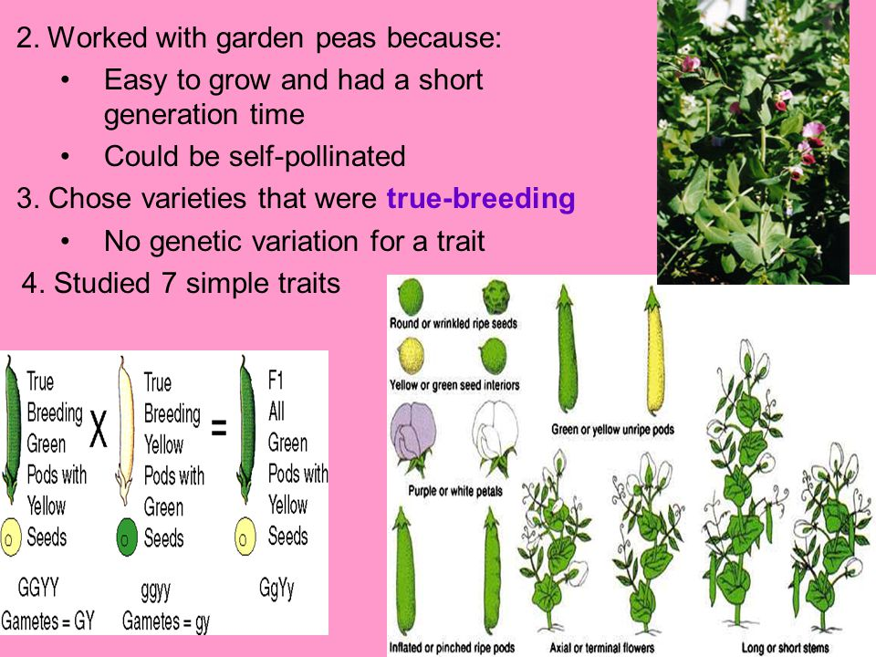 2. Worked with garden peas because: