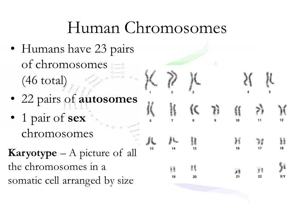 Human Chromosomes Humans have 23 pairs of chromosomes (46 total)