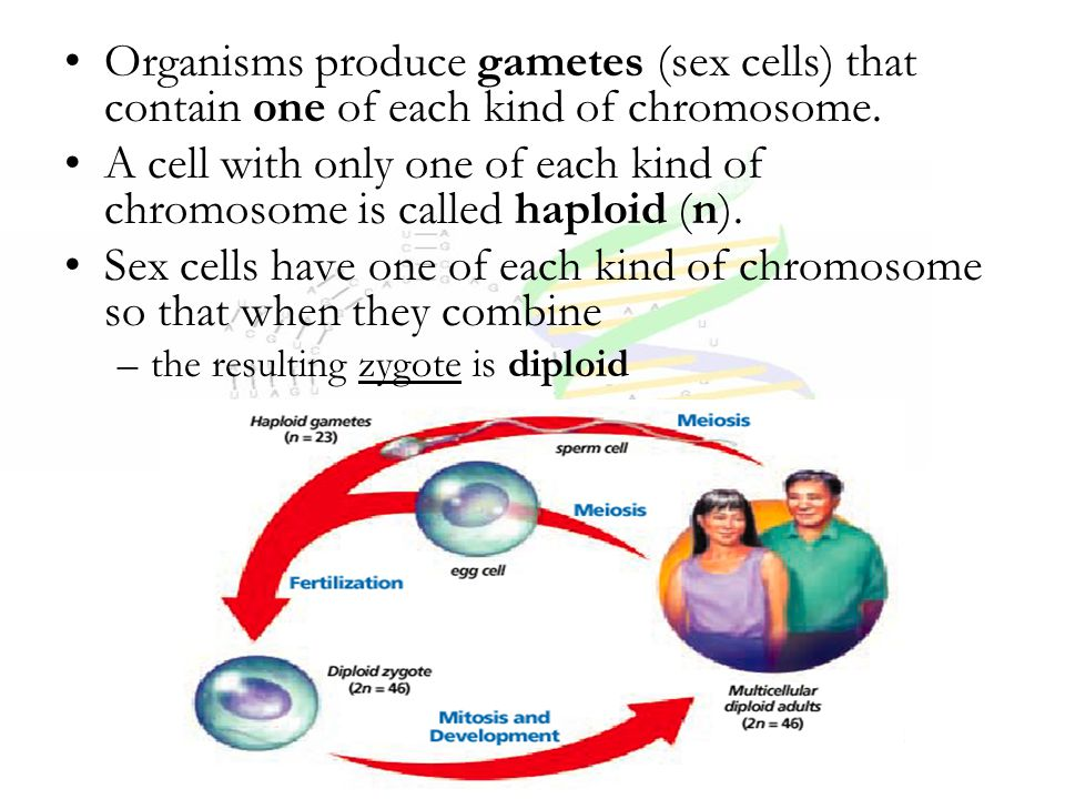 A cell with only one of each kind of chromosome is called haploid (n).