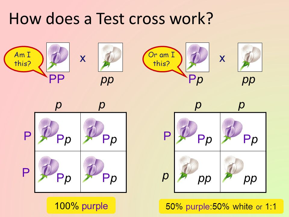 How does a Test cross work