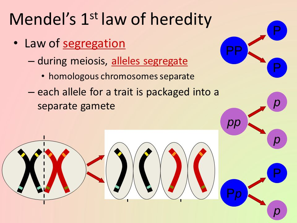 Mendel's 1st law of heredity