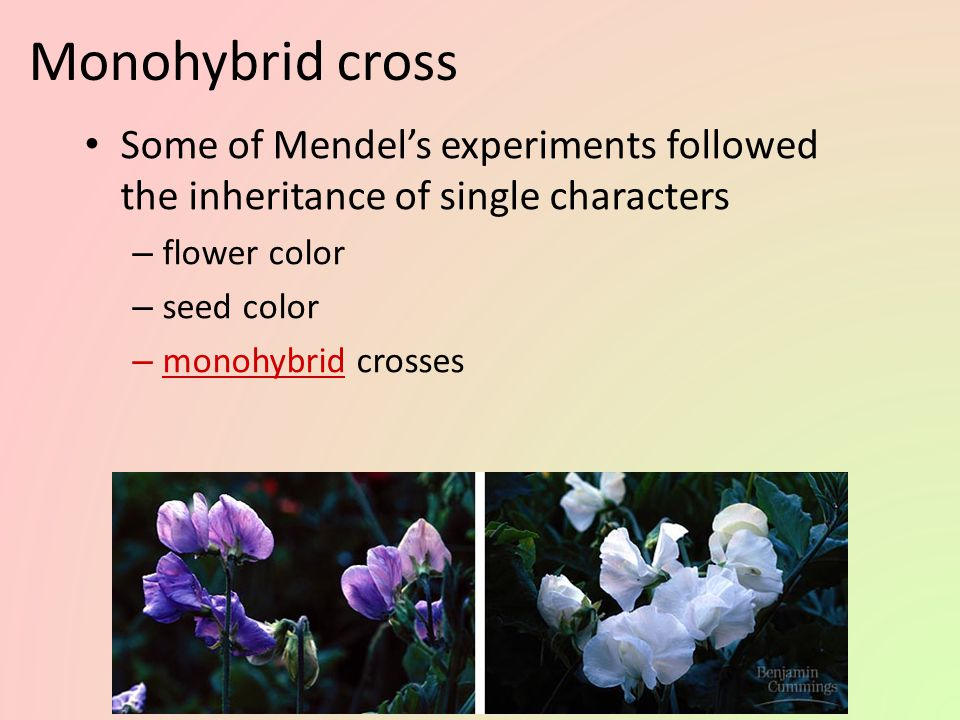 Monohybrid cross Some of Mendel's experiments followed the inheritance of single characters. flower color.