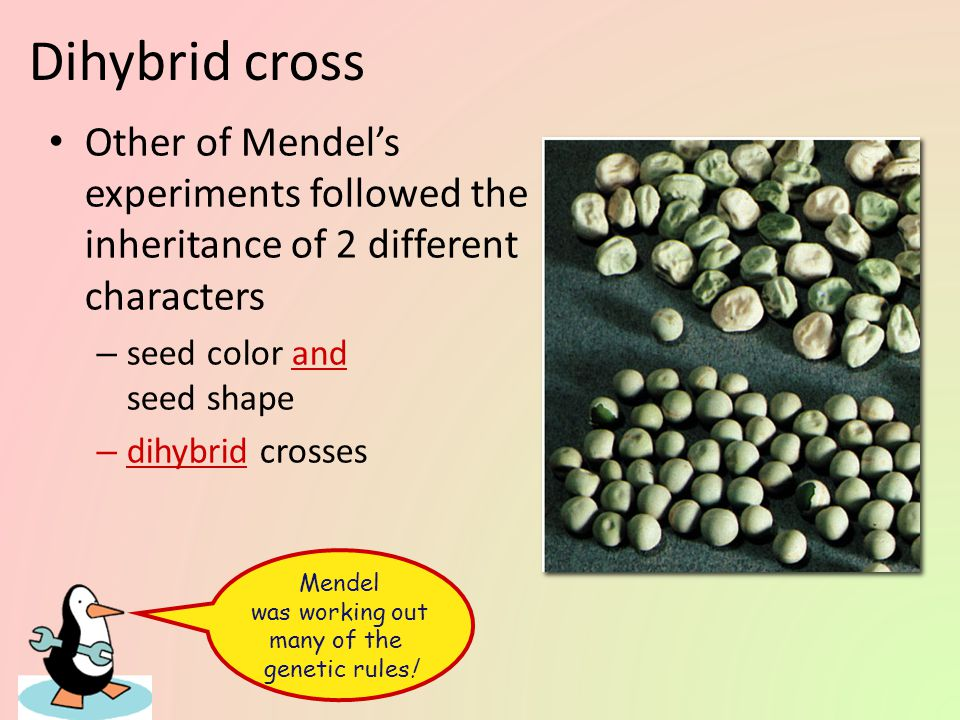 Mendel was working out many of the genetic rules!