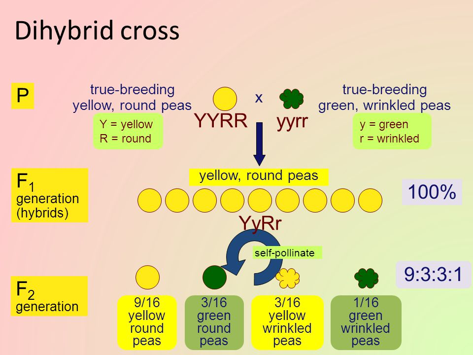Dihybrid cross P YYRR yyrr 100% F1 YyRr 9:3:3:1 F2 x true-breeding
