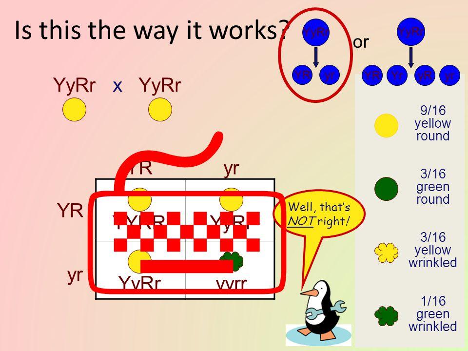  Is this the way it works YyRr x YyRr YR yr YR YYRR YyRr yr YyRr
