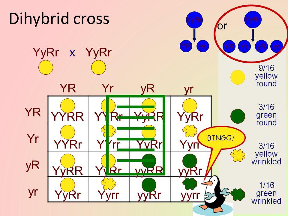  Dihybrid cross YyRr x YyRr YR Yr yR yr YR Yr yR yr YYRR YYRr YyRR