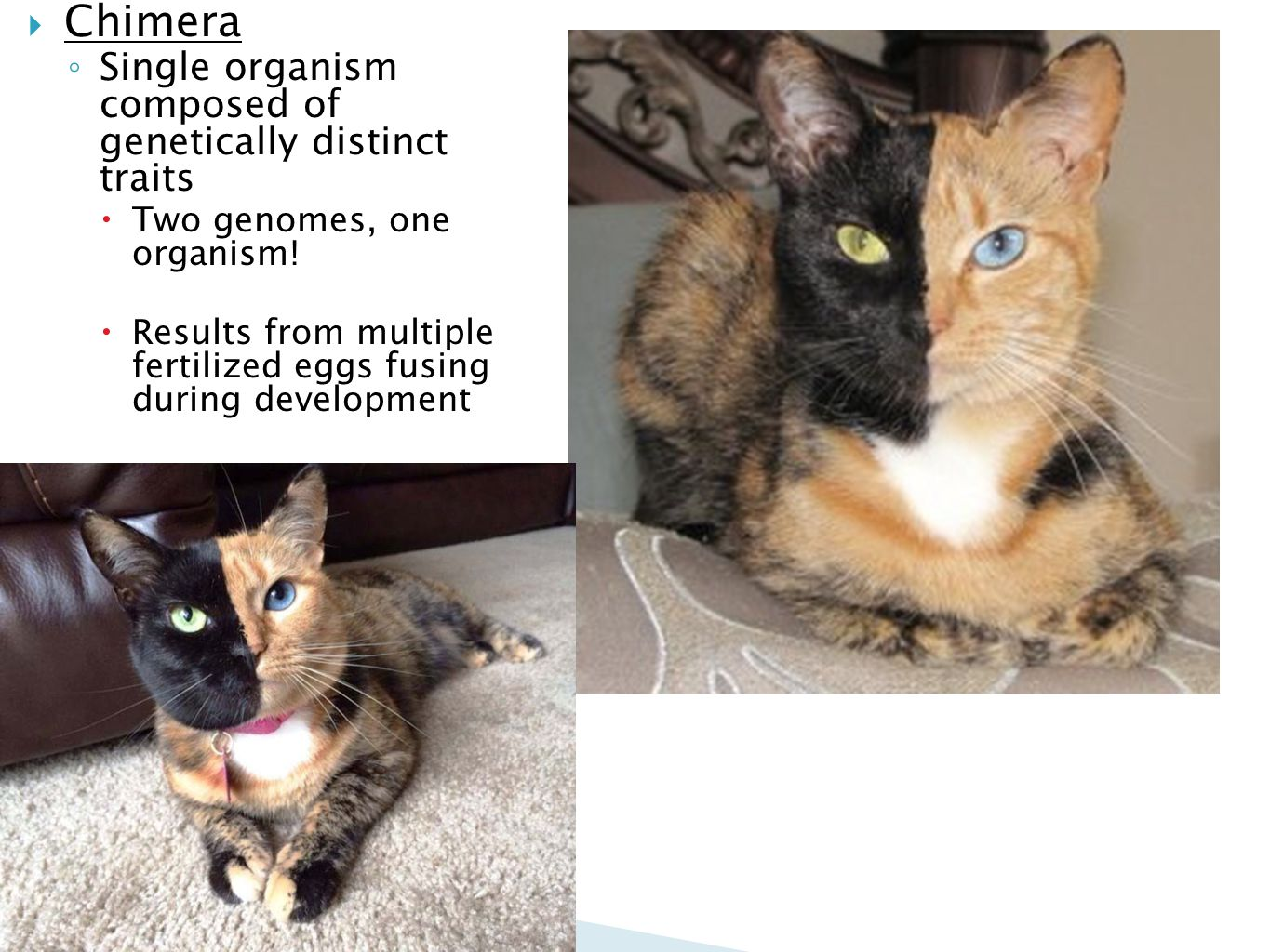 Chimera Single organism composed of genetically distinct traits