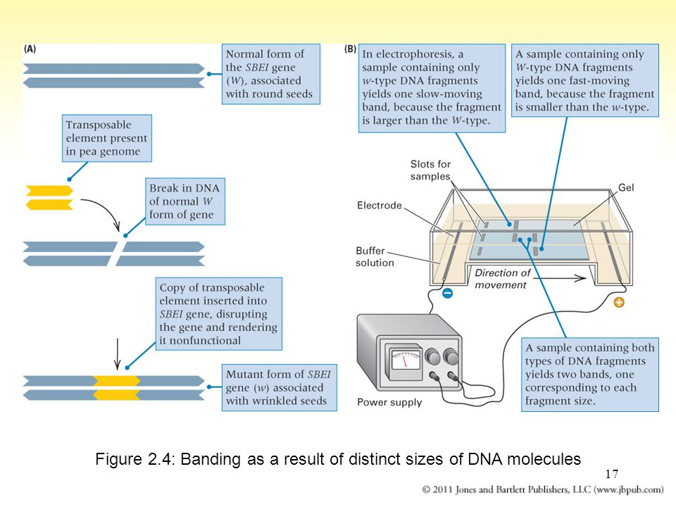 Figure 2.4: Banding as a result of distinct sizes of DNA molecules