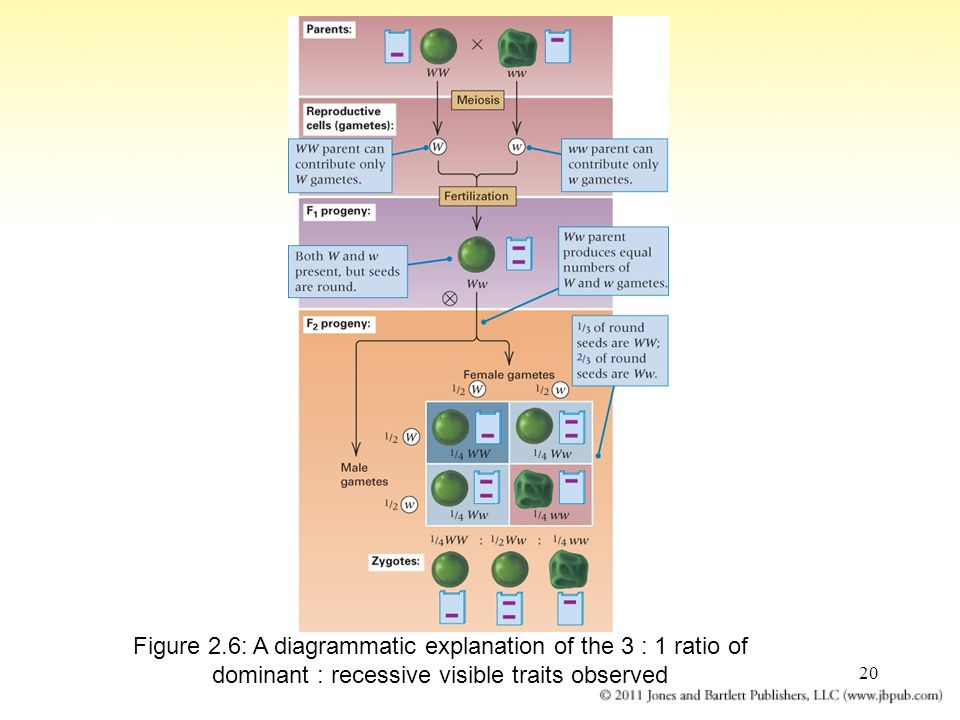 Figure 2.6: A diagrammatic explanation of the 3 : 1 ratio of