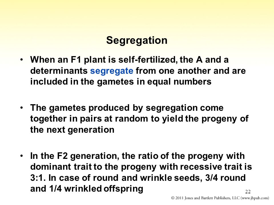 Segregation When an F1 plant is self-fertilized, the A and a determinants segregate from one another and are included in the gametes in equal numbers.