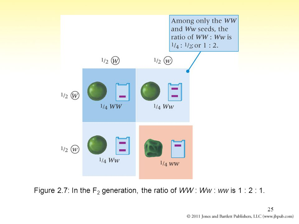Figure 2.7: In the F2 generation, the ratio of WW : Ww : ww is 1 : 2 : 1.