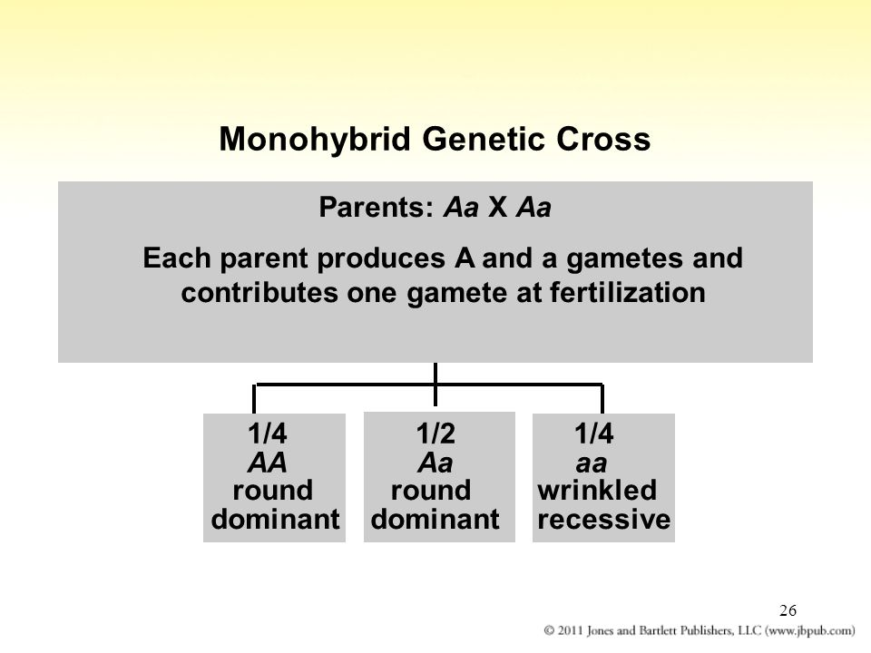 Monohybrid Genetic Cross