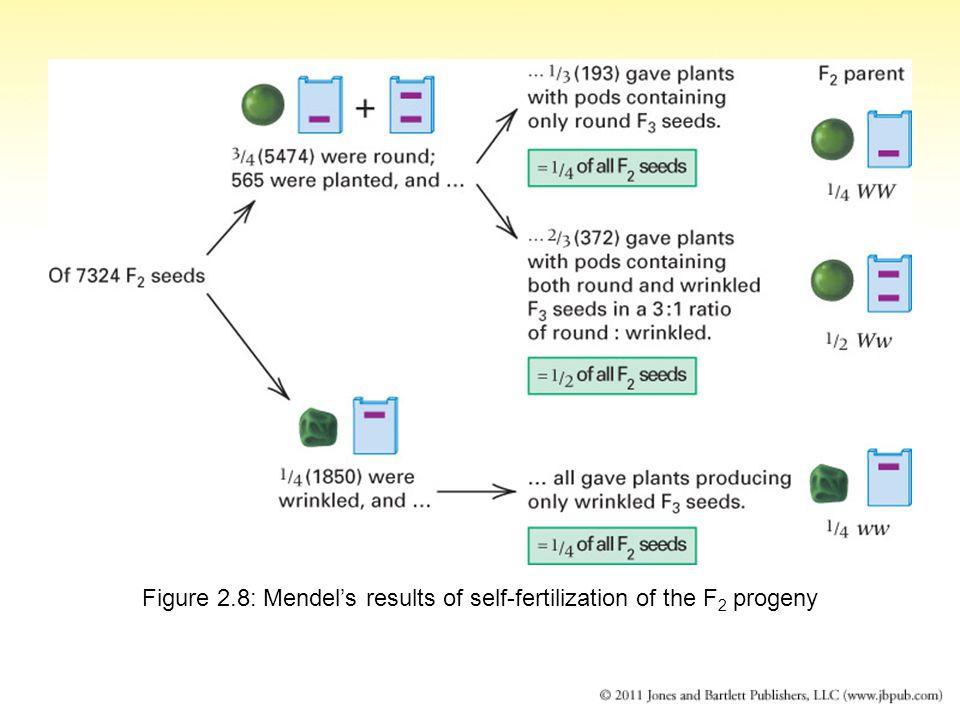 Figure 2.8: Mendel's results of self-fertilization of the F2 progeny