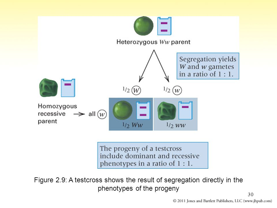 Figure 2.9: A testcross shows the result of segregation directly in the phenotypes of the progeny