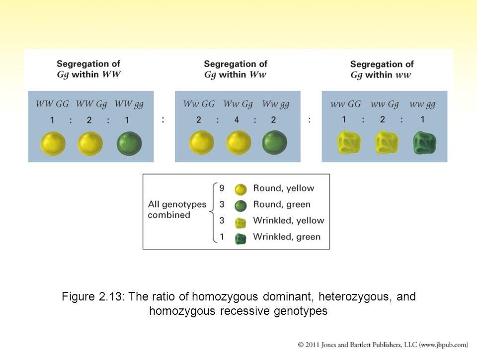 Figure 2.13: The ratio of homozygous dominant, heterozygous, and homozygous recessive genotypes