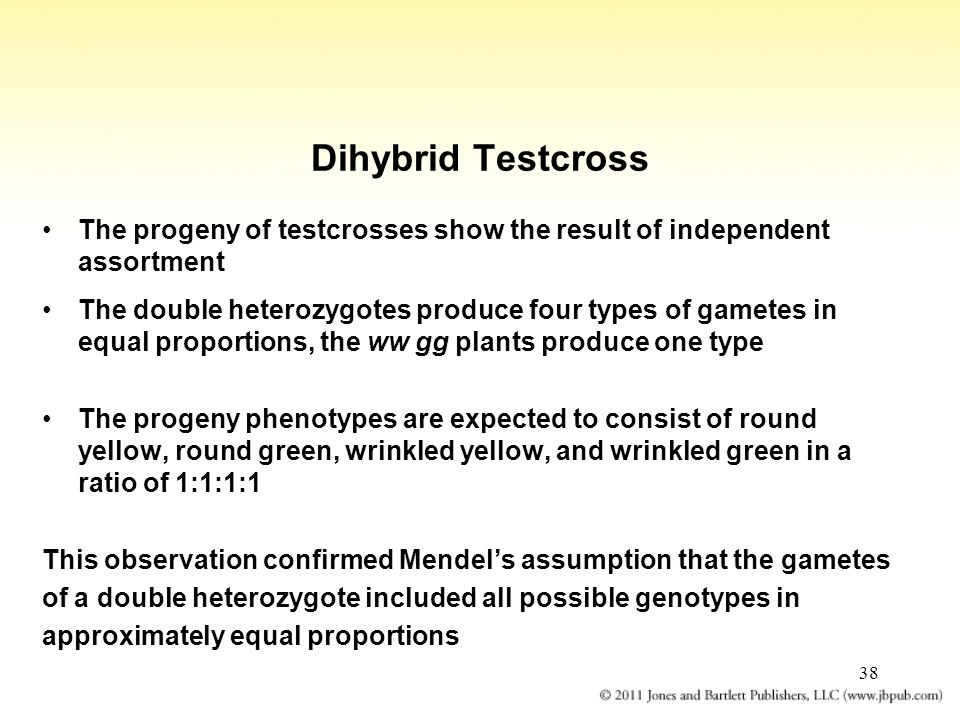 Dihybrid Testcross The progeny of testcrosses show the result of independent assortment.