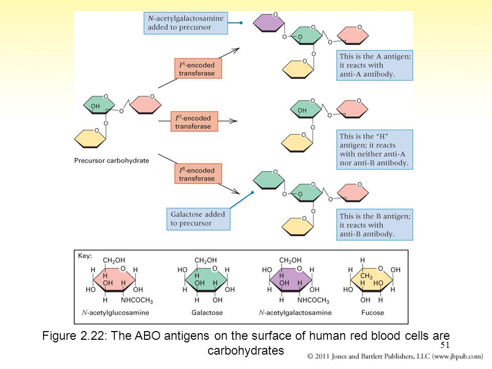 Figure 2.22: The ABO antigens on the surface of human red blood cells are carbohydrates