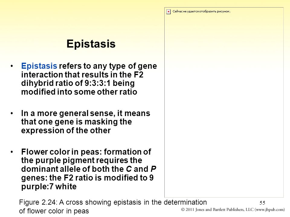 Epistasis Epistasis refers to any type of gene interaction that results in the F2 dihybrid ratio of 9:3:3:1 being modified into some other ratio.