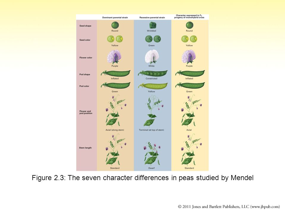 Figure 2.3: The seven character differences in peas studied by Mendel