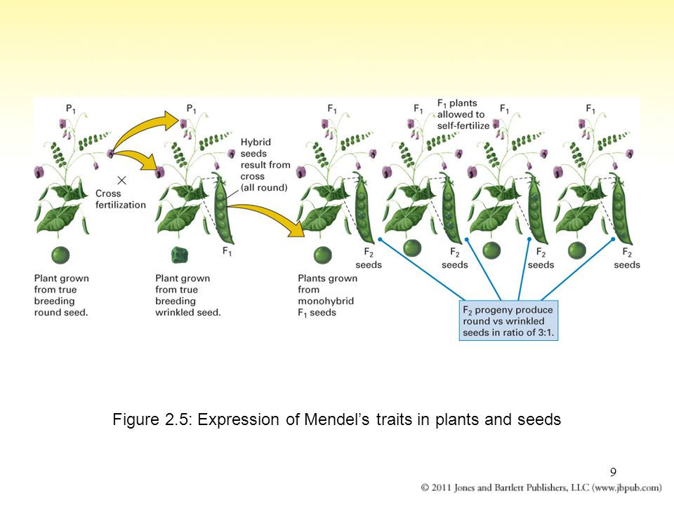 Figure 2.5: Expression of Mendel's traits in plants and seeds