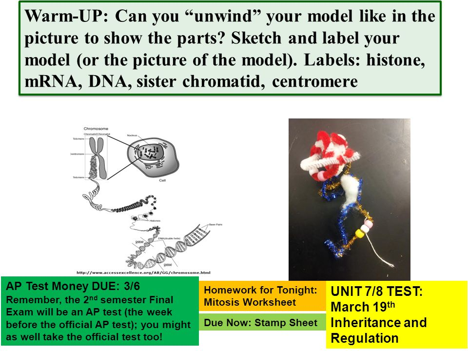 Warm-UP: Can you unwind your model like in the picture to show the parts Sketch and label your model (or the picture of the model). Labels: histone, mRNA, DNA, sister chromatid, centromere