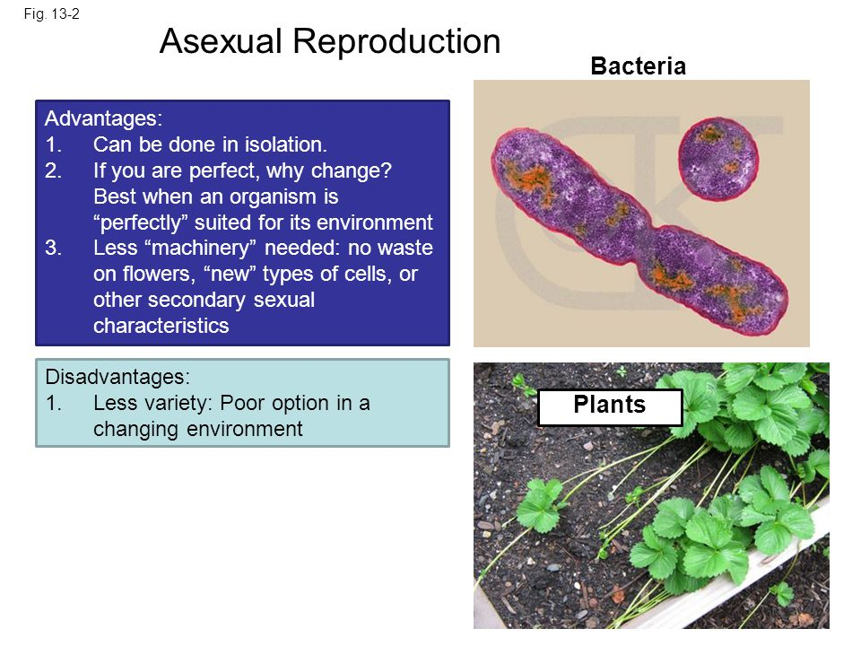 Asexual Reproduction 0.5 mm Bacteria Parent Plants Bud Advantages: