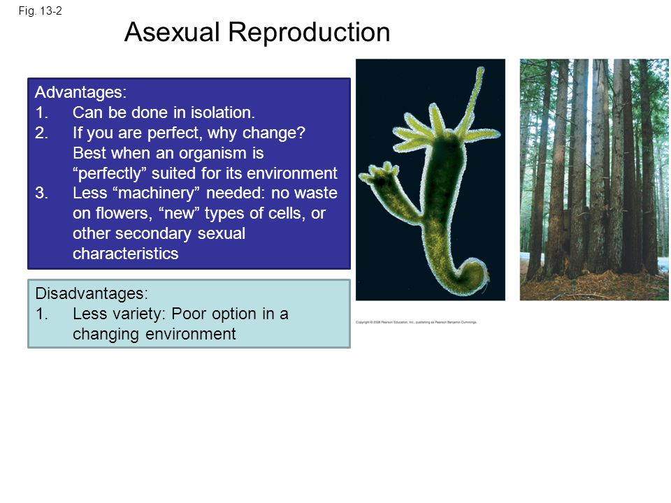 Asexual Reproduction 0.5 mm Parent Bud Advantages: