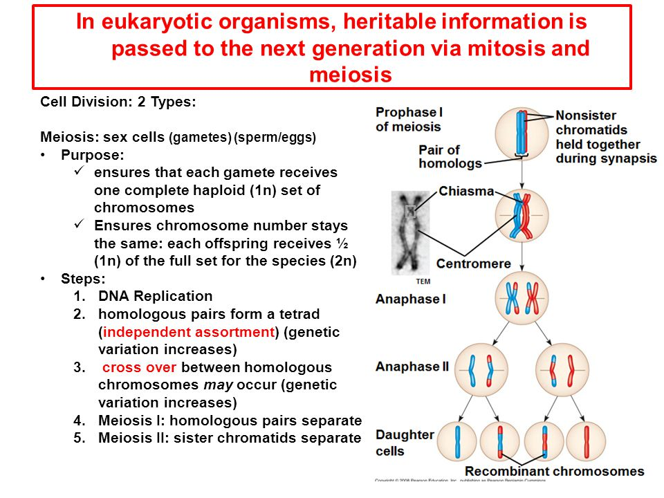 In eukaryotic organisms, heritable information is passed to the next generation via mitosis and meiosis