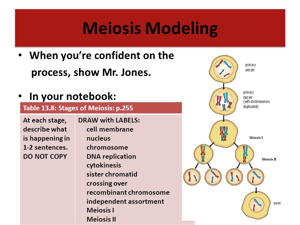 Meiosis Modeling When you're confident on the process, show Mr. Jones.