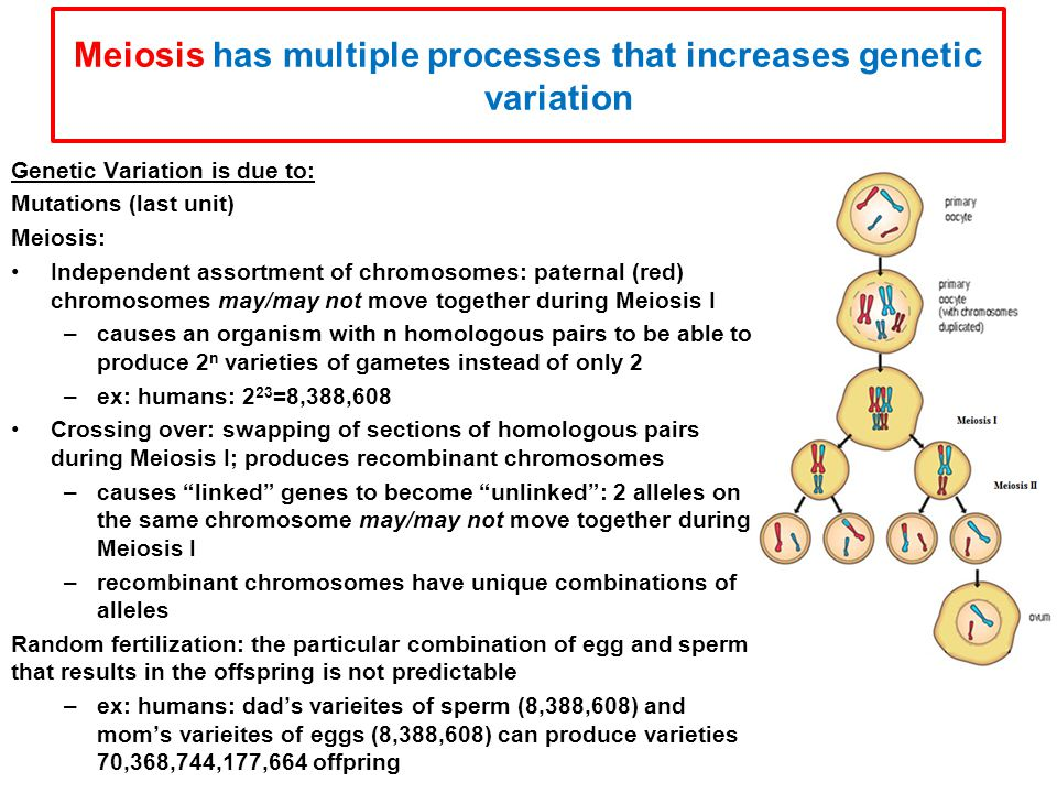 Meiosis has multiple processes that increases genetic variation