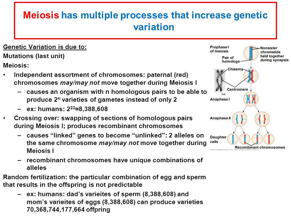 Meiosis has multiple processes that increase genetic variation