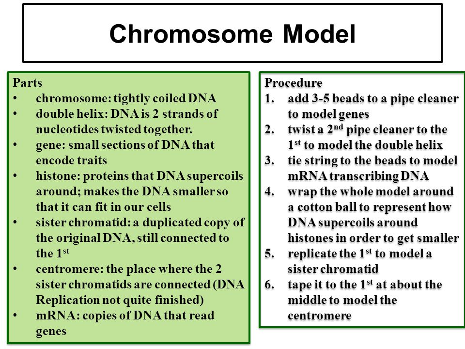 Chromosome Model Parts chromosome: tightly coiled DNA
