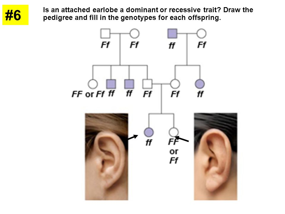 #6 Is an attached earlobe a dominant or recessive trait Draw the pedigree and fill in the genotypes for each offspring.