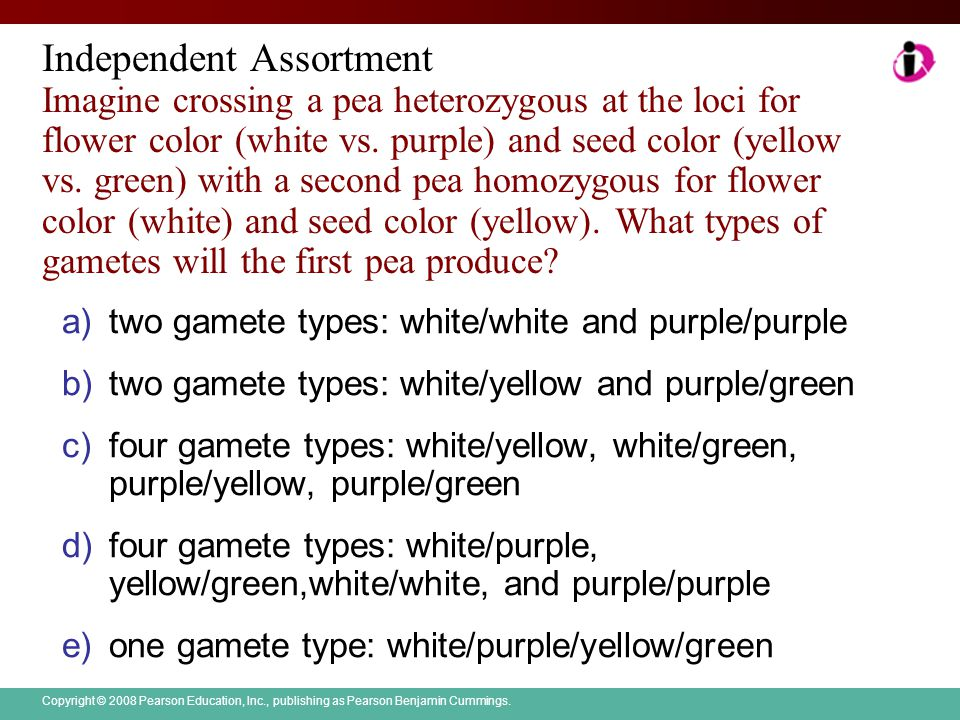 Independent Assortment Imagine crossing a pea heterozygous at the loci for flower color (white vs. purple) and seed color (yellow vs. green) with a second pea homozygous for flower color (white) and seed color (yellow). What types of gametes will the first pea produce