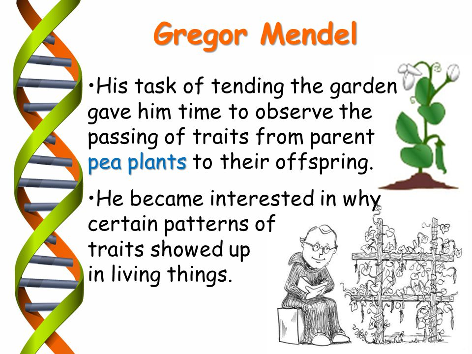 Gregor Mendel His task of tending the garden gave him time to observe the passing of traits from parent.